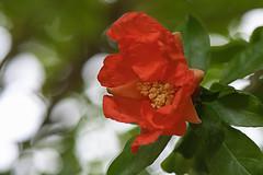 Pomegranate Blossom (pasquale di marzo) Tags: flower fiore inflorescenza blossom melograno esterno colore macro giugno 2019