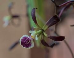 Tiny Star (ACEZandEIGHTZ) Tags: orchid macro closeup dof flower nikond3200 bokeh encyclia coth5 coth alittlebeauty sunrays5