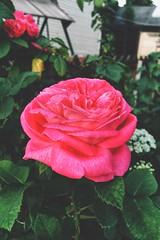 Beautiful rose in garden (Alexx053) Tags: