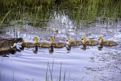 Gosling Convoy (brentus69) Tags: alberta canada geese goslings park elkislandnationalpark birds canadian babies water swimming nikon d4 nikond4