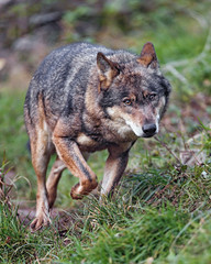 Wolf walking in the grass (Tambako the Jaguar) Tags: wold canid canine european dog walking approaching portrait face grass siky park crémines switzerland nikon d5