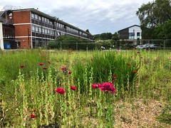 Peony Poppies Growing Wild (Marc Sayce New 1) Tags: peony opium poppies growing wild english gardens building site alice holt lodge forest hampshire farnham surrey south downs national park summer june 2019