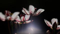 motljusblommor (Håkan Jylhä (Thanks for +1000000 views)) Tags: håkan jylhä sony rx10iv sweden sverige motljus dof close flower blomma white vit
