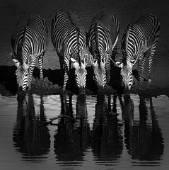 Quartet at the Bar (HWHawerkamp) Tags: erindi namibia wild gamedrive zebra africa waterhole bar quartet black white travel