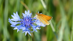 Skipper / Dikkopje (joeke pieters) Tags: 1480462 panasonicdmcfz150 dikkopje skipper vlinder butterfly korenbloem cornflower