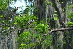 A Good View (npbiffar) Tags: river lake swamp cypress outdoor moss egret bird nature npbiffar 100mm d7100 nikon