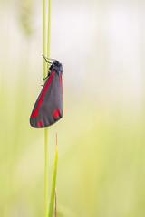 Cinnabar Moth (Birdmanjag) Tags: moths uknature ukwildlife ukinsects wildlife smallworld cinnabarmoth moth goytvalley derbyshire