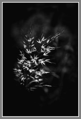 Grasses - HMBT (Jo Evans1 - off and on for a while) Tags: grasses mono bokeh thursday hmbt