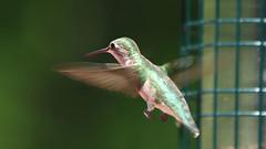 Ruby-throated Hummingbird (blazer8696) Tags: apodiformes arccol archilochus archilochuscolubris bird colubris hummingbird rthu ruby rubythroated rubythroatedhummingbird throated trochilidae img9882 brookfield connecticut unitedstates 2019 ct ecw obtusehill t2019 tabledeck usa