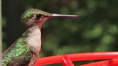 Ruby-throated Hummingbird (blazer8696) Tags: apodiformes arccol archilochus archilochuscolubris bird colubris hummingbird rthu ruby rubythroated rubythroatedhummingbird throated trochilidae img9856 brookfield connecticut unitedstates 2019 ct ecw obtusehill t2019 tabledeck usa