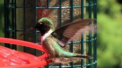 Ruby-throated Hummingbird (blazer8696) Tags: apodiformes arccol archilochus archilochuscolubris bird colubris hummingbird rthu ruby rubythroated rubythroatedhummingbird throated trochilidae img9845 brookfield connecticut unitedstates 2019 ct ecw obtusehill t2019 tabledeck usa