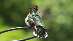 Ruby-throated Hummingbird (blazer8696) Tags: apodiformes arccol archilochus archilochuscolubris bird colubris hummingbird rthu ruby rubythroated rubythroatedhummingbird throated trochilidae img9869 brookfield connecticut unitedstates 2019 ct ecw obtusehill t2019 tabledeck usa