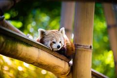 Red Panda (Zeeyolq Photography) Tags: animals jardindesplantes ménagerie nature pandaroux paris redpanda îledefrance france