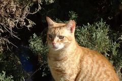 DSC02093 Rubio, Mallorca (Fernando Sa Rapita) Tags: rubio cat gato mascota pet sony sonyrx100 sonydscrx100