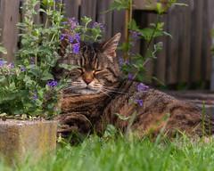 Comatose in the catnip (FocusPocus Photography) Tags: cleo katze tabby cat tier animal pet müde tired katzenminze catnip gras grass garten garden haustier