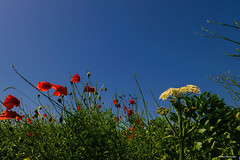 Let the summer begin (akatsoulis) Tags: nature flowers sky bluesky outdoors nikon nikkor d5300 oxford oxfordshire poppies