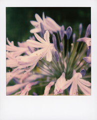Hollywood Spring - Lily Of The Nile (tobysx70) Tags: polaroid originals color 600 instant film slr680 hollywood spring lily of the nile graciosa drive beachwood canyon hills los angeles la california ca common agapanthus blue african purple flower perennial plant petal green leaves amaryllidaceae bokeh toby hancock photography