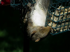 Grey Squirrel Raiding The Bird Feeder Station IMG_3984 (Ted_Roger_Karson) Tags: northernillinois handheldcamera canonpowershotsx280hs squirrelseries squirrel northern illinois series hand held camera food quarrel grey canon powershot sx280 hs snow back yard feeder friends miniature compact pocket seed cake zoom animals suet telephoto thisisexcellent twop test photo minicompact