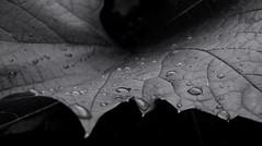 Raindrops on a grape leaf. Monochrome. (ALEKSANDR RYBAK) Tags: капли дождь вода влага лист виноград монохромный макро свет тень тёмный светлый резной жилки drops rain water moisture sheet grapes monochrome macro shine shadow dark light coloured carved veins