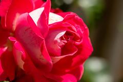 Garden rose (Keith now in Wiltshire) Tags: flower rose garden blooming rosa variegated redandwhite single one macro petals bokeh wiltshire