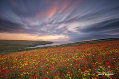 'Winded Poppies' - West Pentire (macdad1948) Tags: flowers cliffs gullrock westpentire sea sunset longexposure poppies cloud nationaltrust polyjoke coast cornwall 10 stop