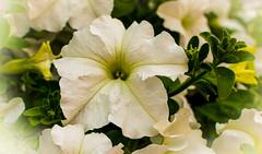 Petunia, (Ricardo Pallejá) Tags: petunia macro flor flowers nikon d500 naturaleza nature macromondays 7dwf spring 2019 primavera colors color colour