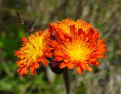 Brilliant summer colour: Orange Hawkweed (peggyhr) Tags: peggyhr orange green summer bokeh flowers dsc03972a quesnel bc canada orangehawkweedhieraciumaurantiacum cariboo rainbowofnaturelevel1red super~sixbronze☆stage1☆ thelooklevel1red
