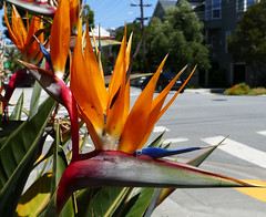 a series: to zuckerberg & back; bird of paradise flower (nolehace) Tags: spring nolehace mission missiondistrict sanfrancisco fz1000 519 flower bloom plant birdofparadise