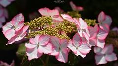 Magical Flamenco `Hydrangea (AreKev) Tags: pink white magical flamenco magicalflamenco hydrangea macrophylla flower flora bokeh macro backgarden ourgarden garden whitchurch bristol southwestengland england uk nikond7100 nikon d7100 sigmaartlens sigma24105mmf4dghsmart sigma 24105mm 24105mmf4dghsm luminar3