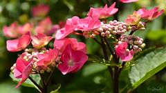 Zorro Pink `Hydrangea (AreKev) Tags: zorro pink zorropink hydrangea hortensia macrophylla flower flora bokeh macro backgarden ourgarden garden whitchurch bristol southwestengland england uk nikond7100 nikon d7100 sigmaartlens sigma24105mmf4dghsmart sigma 24105mm 24105mmf4dghsm luminar3