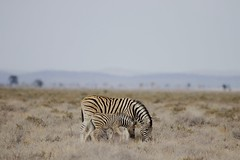 Mother&Kid (Manuel-B) Tags: zebra africa etosha nationalpark namibia eos canon 80d wildlife sigma savanna 150600mm