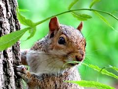 Secret Squirrel (seanwalsh4) Tags: greysquirrel