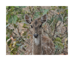 The Doe in the Forest  [Explored] (The Spirit of the World ( On and Off)) Tags: doe deer spotteddeer chital nature wildlife rajasthan ranthamborepark park nationalpark gamereserve gamedrive india northern forest portrait