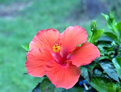 IMG_6239 -1e ~ Hibiscus (BDC Photography) Tags: texas usa canones68lenshood bwfpro010mrc49mmuvhazefilter canonef50mmf18stmlens canon canoneos5dmkii hibiscus flower red
