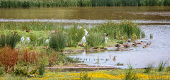 Egrets & Friends (pootlepod) Tags: canon 7dmkii wildlife swallows egrets ducks waterfowl raw male female young juvenile flight flying wings feather preening rspb bowlinggreen reserve clyst exe confluence rspbsouthwest protection nature natural habitat