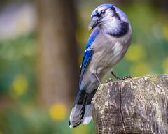 """""""Beauty in the Park"""" Blue Jay (Cathy Lorraine) Tags: bird outdoors park springtime nature newyorkcity newyork bluejay coth5"""