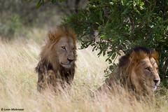 Abbott & Costello (leendert3) Tags: leonmolenaar southafrica krugernationalpark wildlife wildanimal nature naturereserve naturalhabitat mammal africanlion ngc npc