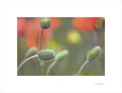 Elogio de las formas (E. Pardo) Tags: formas formen forms flowers flores blumen colores colors farben primavera frühling spring