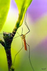 Accrobate (Alexandre LAVIGNE) Tags: pentaxk20d tamronspafdi90mm128macro 2012 tipule bokeh couleurs cousin insecte lumière macro nature saintquentin picardiehautsdefrance