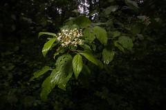 Anglų lietuvių žodynas. Žodis red osier dogwood reiškia raudona gluosnių sedula lietuviškai.