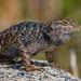 Great Basin Fence Lizard 2000 (Sceloporus occidentalis longipes)