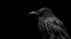 Rabenschwarz - jet black (Stefan Wirtz) Tags: rabe kolkraben raven blackandwhite vogel singvogel bird songbirf feather feder