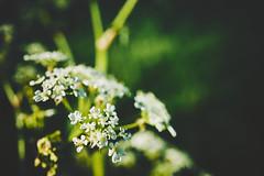 flowers (Jos Mecklenfeld) Tags: sonya6000 sonyilce6000 sonye30mmf35macro sel30m35 meebos westerwolde niederlande nederland nature natur natuur forest waldbos wald bos spring frühling lente flowers blumen bloemen terapel groningen netherlands