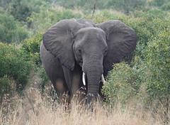 Ready for take off (eric zijn fotoos) Tags: sony sonyrx sonyrx10m4 southafrica zuidafrika olifant elephant dier safari animal afrika africa nature natuur krugernationalpark kruger krugerpark zoogdieren fauna ears oren