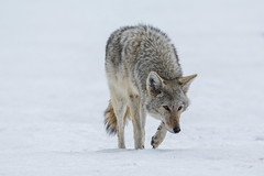 All ears (ChicagoBob46) Tags: coyote yellowstone yellowstonenationalpark nature wildlife coth5 naturethroughthelens