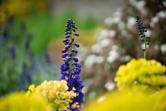 Delphinium (tonybill) Tags: flowers gardens loseleypark may miscellaneous nikkordc135mmf2 sonya7riii sonyfe24105mmf4 surrey bokeh