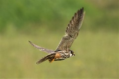 The Hobby or Eurasian hobby (Falco subbuteo) Dungeness RSPB (GrahamParryWildlife) Tags: grahamparrywildlife sigma 150600 sport 150 600 canon 7d mkii outdoor animal depth field mk2 uk kent rspb photo flickr new sunlight up dof kentwildlife feathers wings lig hobby or eurasian falco subbuteo small falcon one fastest birds world over 100 mph reportedly
