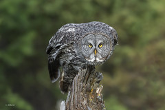 Great Gray Owl / Chouette lapone (shimmer5641) Tags: strixnebulosa greatgrayowl chouettelapone cárabo lapón strigidae family strigidaefamily owl birdofbritishcolunbia birdofnorthamerica owlsoftheborealforest raptor birdofprey