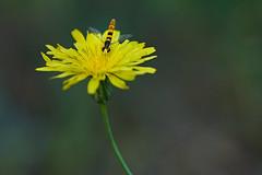 La Avispada (J Dominguez) Tags: mosca sirfido macro macrofotografía flor petalo insecto volador flora naturaleza