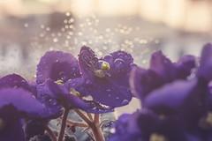 Violetas (Rafi Moreno) Tags: marbella andalucía violetasafricanas violetas violet flores flowers rafi bokeh desenfoque pale vintage regro nature naturaleza gotas agua photoshop canon